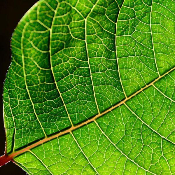 IPL leaf veins