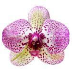 Random orchid image