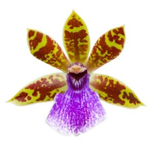 orchid07