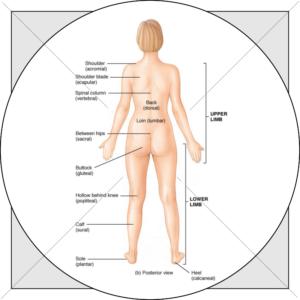 Vitruvian woman body areas
